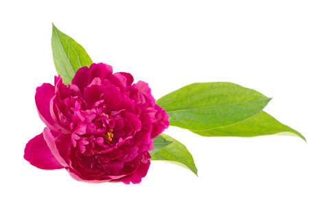 Peony flower on a white background, isolated. 스톡 콘텐츠