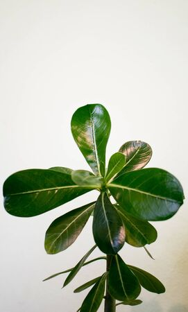 The rose of the desert.Plant with leaves green, juicy and toxic, on a white background