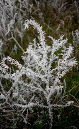 hoar-frost fallen on plants on a cold December day 版權商用圖片