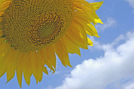 backgraound: sunflower with blue backgraound