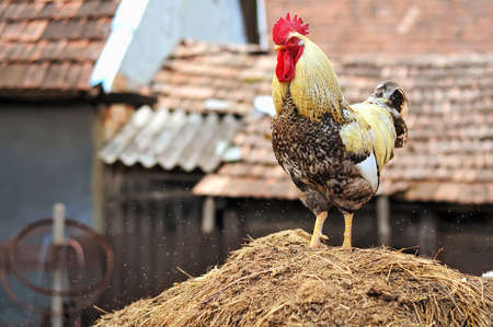 portrait of a proud, domestic colorful, rooster on a pile of hay with lots of little bugs around  Stock Photo