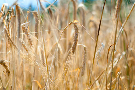 Closeup of yellow wheat grain ready to harvest in the field photo