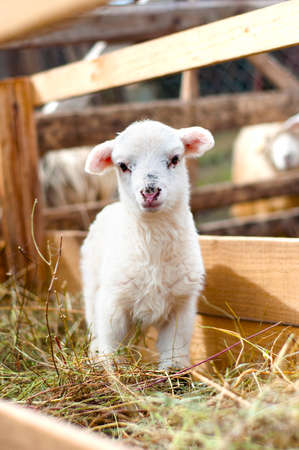 Very young lamb barely standing, eating grass and staring at camera
