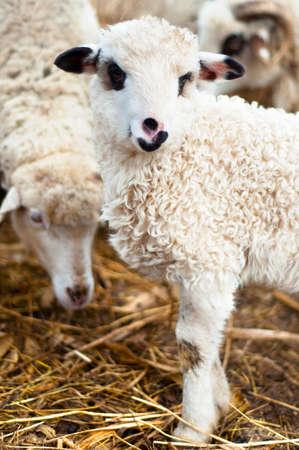 pasen schaap: jong lam eten van gras en hooi met de kudde
