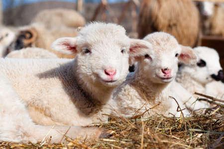 cute sheep: young lambs smiling and looking at camera while eating and sleeping