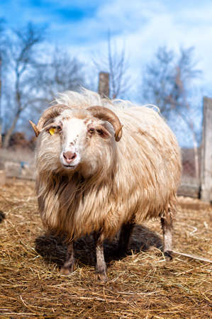 harmless: Male long tailed sheep separated from herd, eating grass and hay