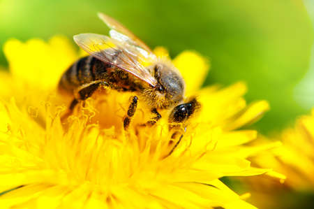 blossom honey: close-up of honey bee working in a yellow summer flower, macro