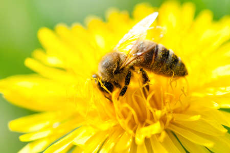 bee on flower: close-up of a Honey bee collecting pollen from a yellow flower Stock Photo