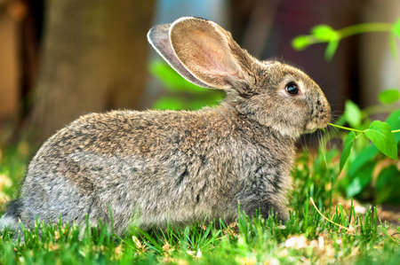 living thing: Little brown rabbit eating grass in the farm courtyard
