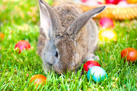 Little grey bunny or rabbit playing in the meadow with the easter eggs, in the courtyard farm photo