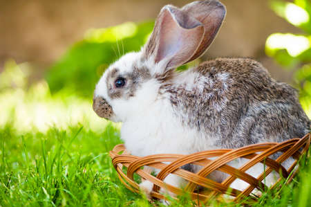 White little bunny sitting in a wooden basket, while at a animals rural farm photo