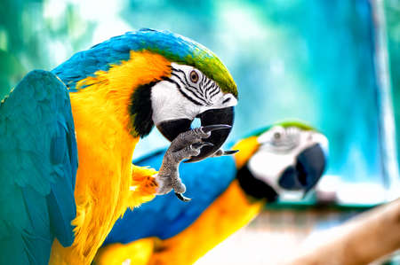 blue bird: pair of Macaw parrots in the wild with tropical jungle background
