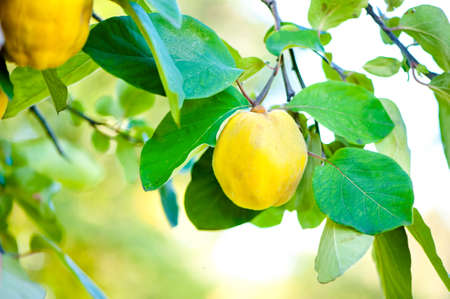 Fresh, bio, sweet and healthy quinces on tree at local farm, with sun rays and green background photo