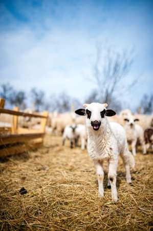 Curious little lamb singing in local farm photo