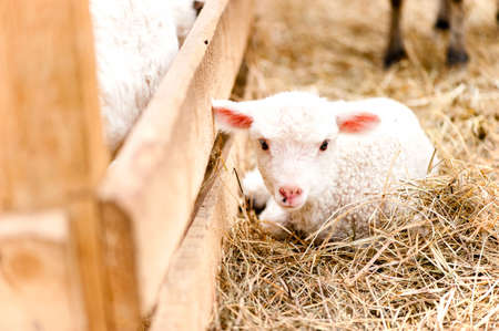 little young lamb sitting and sleeping at agriculture farm