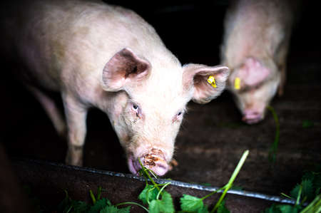 landrace: two pigs eating grass at local farm in the countryside
