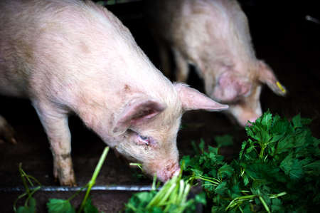 two farm piglets eating grass in the countryside photo