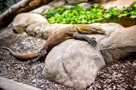 merciless: Komodo dragon in natural enviroment sitting on a rock, largest lizard in the world  varanus komodoensis