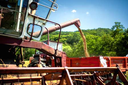 corn fields: industrial combine harvester unloads wheat grain in tractor trailer