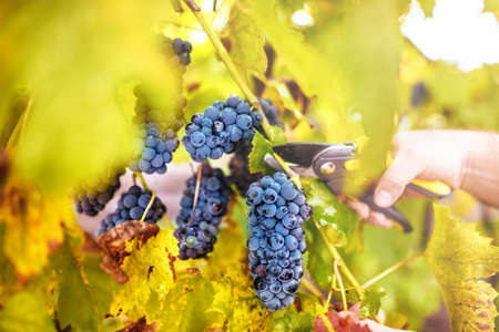 crop harvest: autumn harvest on wineyard valley. agriculture man harvesting grapes Stock Photo