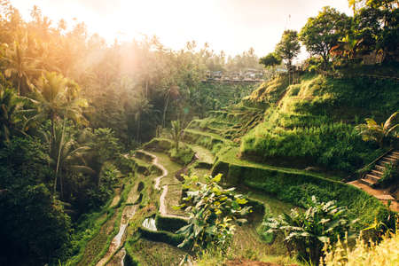 arando: Beautiful landscape with rice terraces in famous tourist area of Tagalalang, Bali, Indonesia. Green Rice fields prepare the harvest