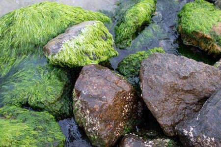 pierres couvertes d'algues sur la mer, gros plan de la mousse de mer verte