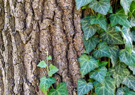 invasive plant: Tree texture and ivy plant climbing