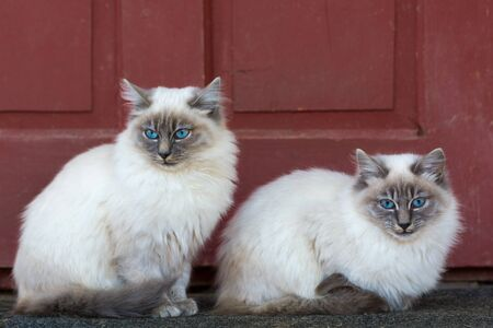 Two beautiful little cats with blue eyes