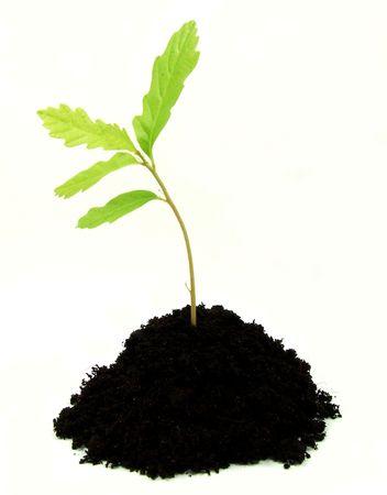 Young oak plant in soil