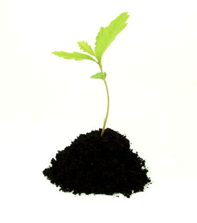 Young oak tree sprout growing in soil Stock Photo