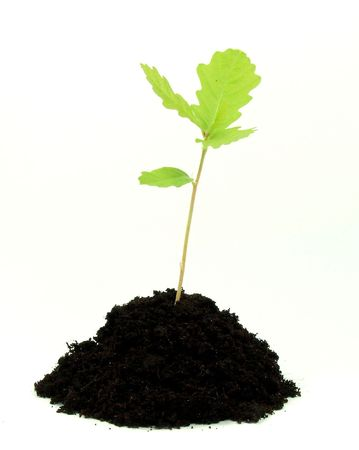 emerging economy: Young oak plant in soil