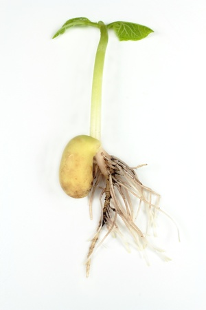 bean sprouts: Bean sprout Stock Photo
