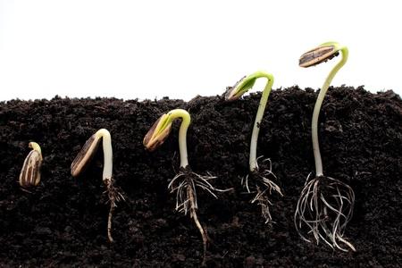 Sequenza di germinazione di semi di girasole germogli