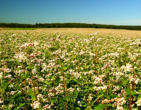 Buckwheat field photo