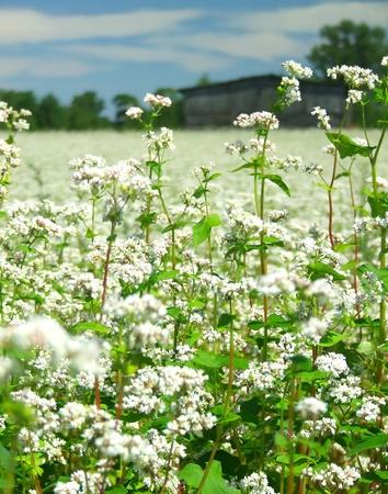 Buckwheat field Stock Photo