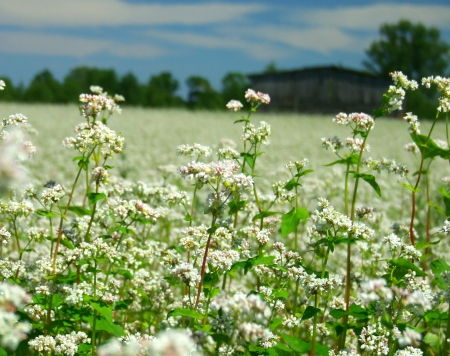 Buckwheat flowers field Stock Photo - 15024069