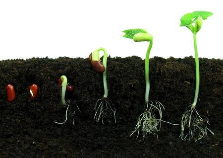 germinaci�n: Sequance de frijol germinaci�n de semillas en el suelo Foto de archivo