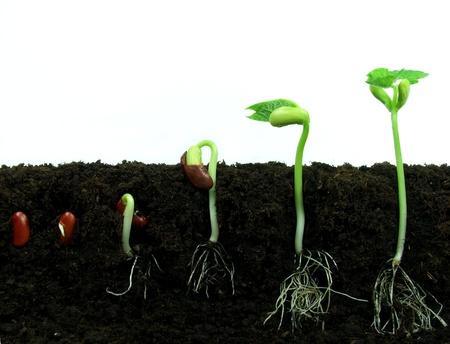 germinaci�n: Las semillas de frijol que germinan en el suelo