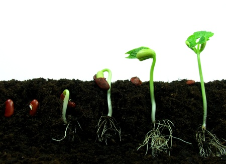 bean sprouts: Germination of bean seeds in sequence Stock Photo