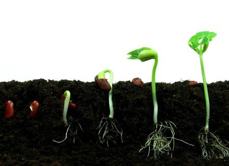 La germination des graines de haricot dans l'ordre