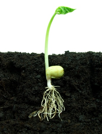 Bean growing in soil photo