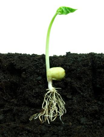 germination: Frijol creciendo en el suelo