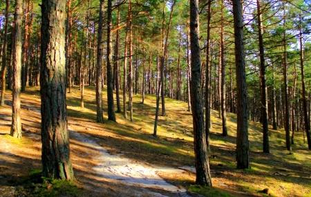 Forest on dunes, Stilo, Poland