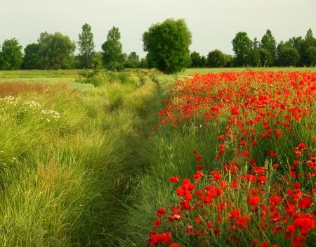 non urban: Red poppies