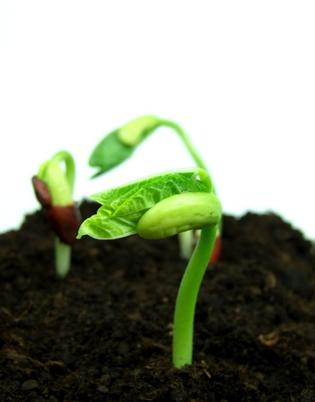 Bean sprouts in soil