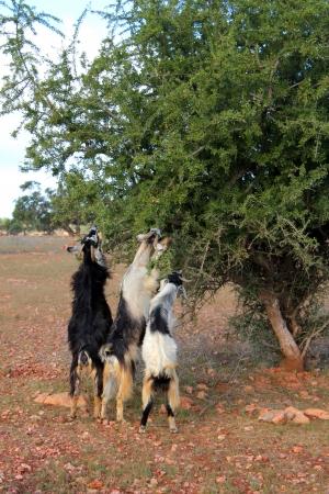 Goats feeding on argan tree, Marocco