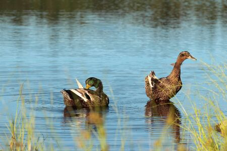 Pair of wild ducks resting on the water Stock Photo