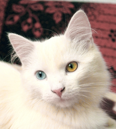 Cat with unusual eyes color. Cat with heterochromia