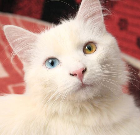 White cat with different eyes color Stock Photo