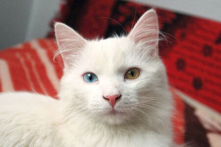 Young cat with different eyes color, Cat with heterochromia